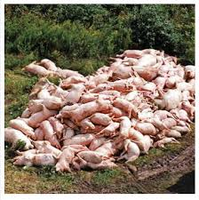 pigs in mass