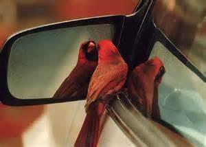 cardinal at mirror