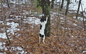 dog treeing squirrel