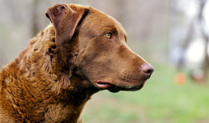 chesapeake-bay-retriever-head